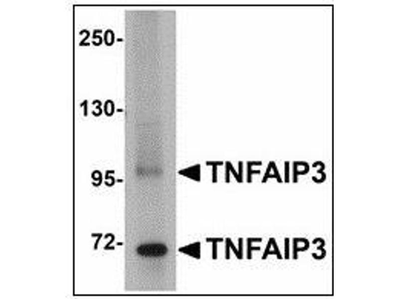 Western Blotting (WB) image for anti-Tumor Necrosis Factor, alpha-Induced Protein 3 (TNFAIP3) (C-Term) antibody (ABIN615697)
