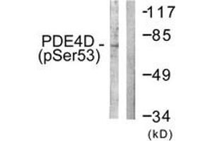 Image no. 1 for anti-phosphodiesterase 4D, cAMP-Specific (PDE4D) (AA 156-205), (pSer190) antibody (ABIN1531369)