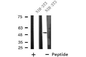 Image no. 1 for anti-Dual Specificity Phosphatase 10 (DUSP10) antibody (ABIN6257139)