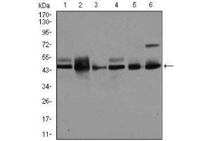 Western Blotting (WB) image for anti-JNK antibody (Mitogen-Activated Protein Kinase 8) (ABIN4327963)