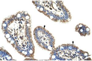 Image no. 3 for anti-Cyclin D Binding Myb-Like Transcription Factor 1 (DMTF1) (C-Term) antibody (ABIN2775903)