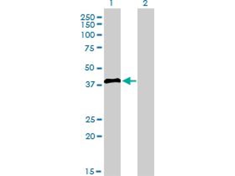 Image no. 1 for anti-Interferon Regulatory Factor 2 (IRF2) (AA 216-315) antibody (ABIN561522)