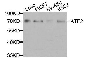Western Blotting (WB) image for anti-Activating Transcription Factor 2 (ATF2) antibody (ABIN3023064)