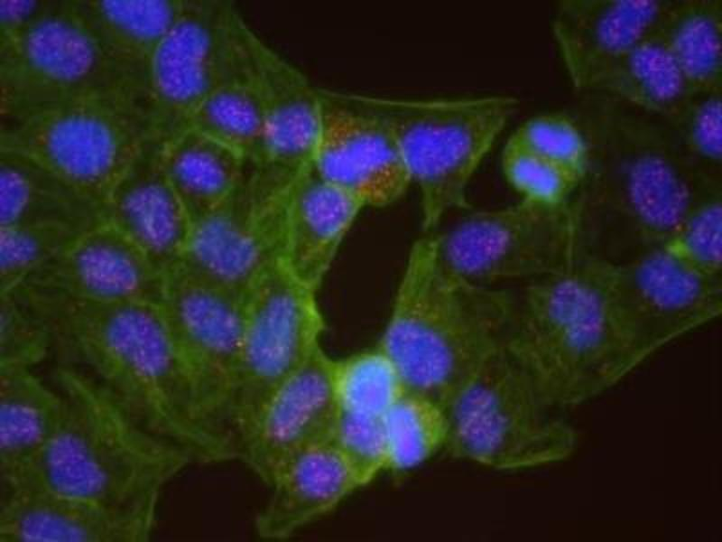 Proximity Ligation Assay (PLA) image for anti-Checkpoint Kinase 1 (CHEK1) antibody (ABIN151777)