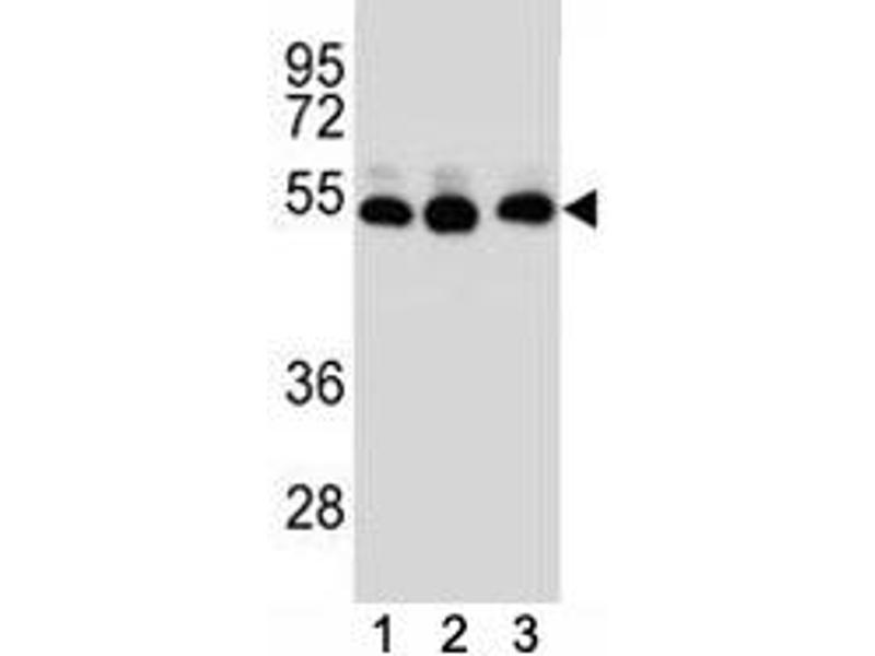 Western Blotting (WB) image for anti-Tubulin, beta 2B (TUBB2B) (AA 12-39) antibody (ABIN3029343)