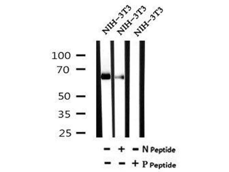 Image no. 3 for anti-Aryl Hydrocarbon Receptor Nuclear Translocator-Like (ARNTL) (pSer49) antibody (ABIN6269615)