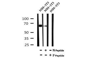 Image no. 3 for anti-Aryl Hydrocarbon Receptor Nuclear Translocator-Like (ARNTL) (pSer49) antibody (ABIN6269615)
