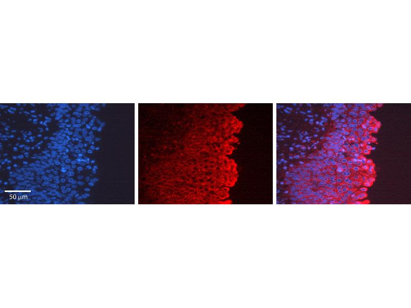 Immunohistochemistry (IHC) image for anti-Collagen, Type I, alpha 1 (COL1A1) (C-Term) antibody (ABIN2788299)