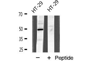 Image no. 1 for anti-TRAF Family Member-Associated NFKB Activator (TANK) antibody (ABIN6262427)