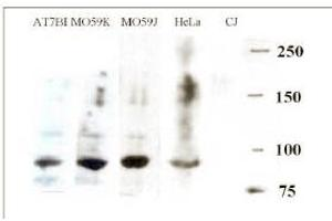 anti-DNA Cross-Link Repair 1C (DCLRE1C) (AA 482-495) antibody (2)