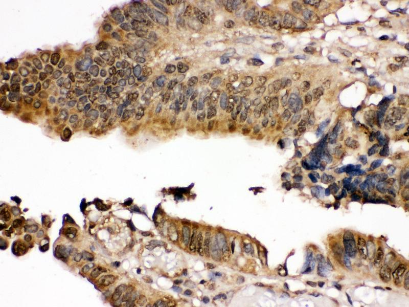 Immunohistochemistry (IHC) image for anti-Mitogen-Activated Protein Kinase Kinase 7 (MAP2K7) (AA 2-40), (N-Term) antibody (ABIN3043875)