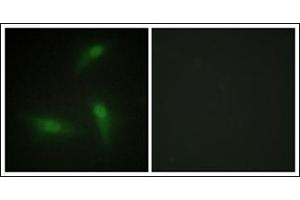 Image no. 1 for anti-Heterogeneous Nuclear Ribonucleoprotein A1 (HNRNPA1) antibody (ABIN1107590)