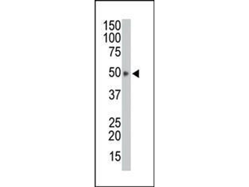 Western Blotting (WB) image for anti-HtrA Serine Peptidase 1 (HTRA1) (AA 381-412), (C-Term) antibody (ABIN388128)