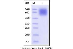 Image no. 1 for Lysosomal-Associated Membrane Protein 1 (LAMP1) (Active) protein (His tag) (ABIN1888695)