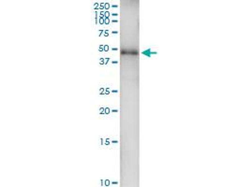 Immunoprecipitation (IP) image for anti-GATA Binding Protein 1 (Globin Transcription Factor 1) (GATA1) (AA 1-413), (full length) antibody (ABIN515941)