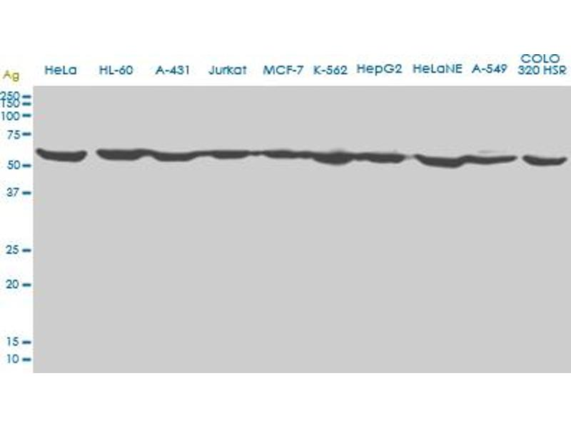 Western Blotting (WB) image for anti-Erythropoietin Receptor (EPOR) (AA 31-130), (partial) antibody (ABIN560776)