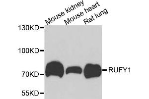Image no. 1 for anti-RUN and FYVE Domain Containing 1 (RUFY1) antibody (ABIN6571397)
