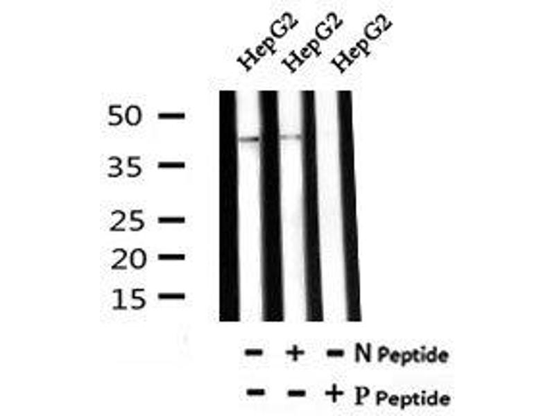 Image no. 2 for anti-KISS1 Receptor (KISS1R) (pSer368) antibody (ABIN6269495)