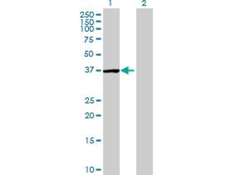 Image no. 1 for anti-serine/threonine/tyrosine Interacting-Like 1 (STYXL1) (AA 1-313) antibody (ABIN526848)