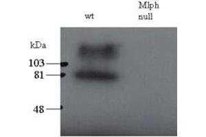 Image no. 1 for anti-Melanophilin (MLPH) (C-Term) antibody (ABIN184753)