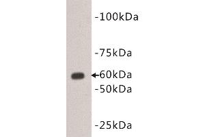 Western Blotting (WB) image for anti-CD80 (CD80) (Extracellular) antibody (ABIN1854865)