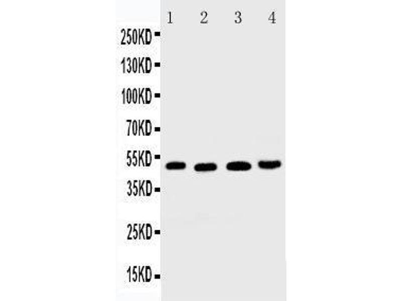 Western Blotting (WB) image for anti-Tumor Necrosis Factor Receptor Superfamily, Member 10b (TNFRSF10B) (AA 333-348), (C-Term) antibody (ABIN3044205)