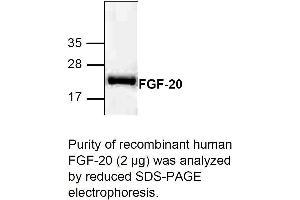 Image no. 1 for Fibroblast Growth Factor 20 (FGF20) (Active) protein (ABIN413253)