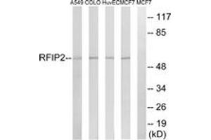 Image no. 1 for anti-RAB11 Family Interacting Protein 2 (Class I) (RAB11FIP2) (AA 340-389) antibody (ABIN1535246)