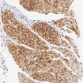 anti-Actin-Related Protein T1 (ACTRT1) anticorps
