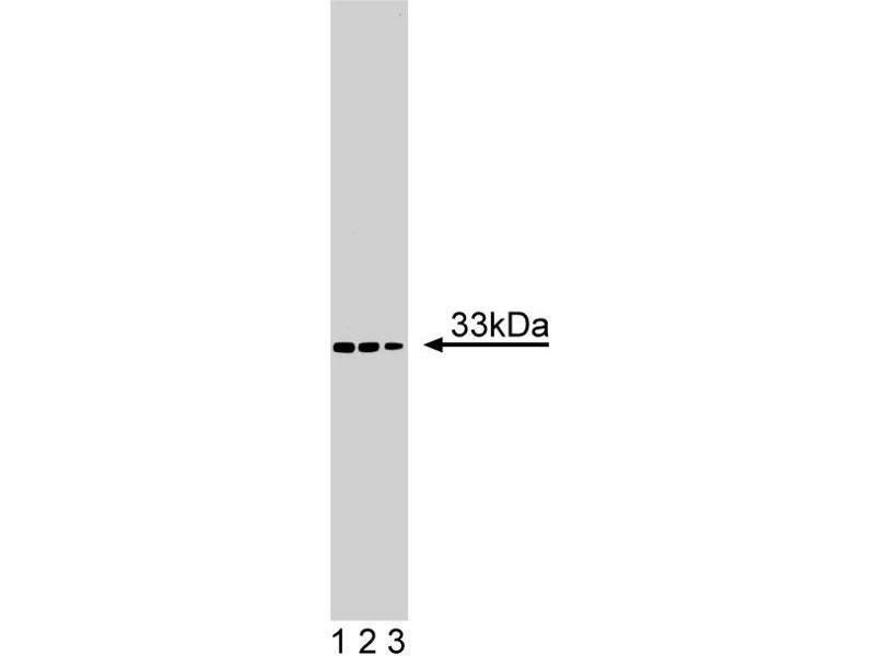 Western Blotting (WB) image for anti-VAPA antibody (VAMP (Vesicle-Associated Membrane Protein)-Associated Protein A, 33kDa) (AA 119-226) (ABIN968776)