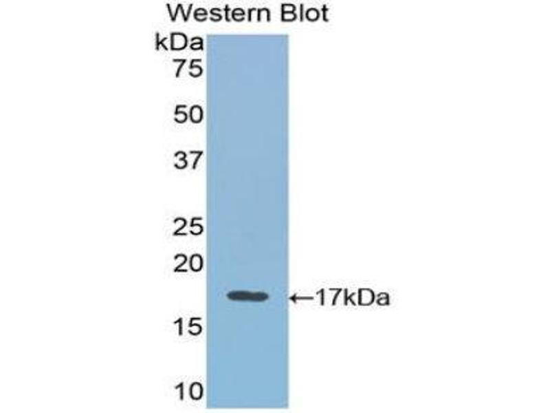 Western Blotting (WB) image for anti-Vascular Endothelial Growth Factor B (VEGFB) (AA 21-137) antibody (ABIN1078651)