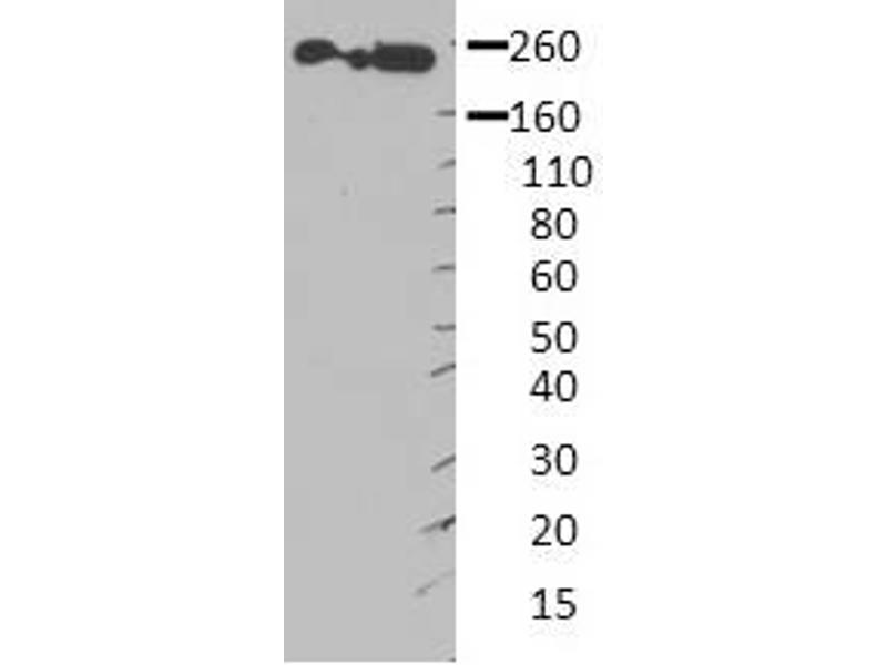 Western Blotting (WB) image for anti-Non-Muscle Myosin Heavy Polypeptide 9 (MYH9) (Middle Region) antibody (ABIN2783216)