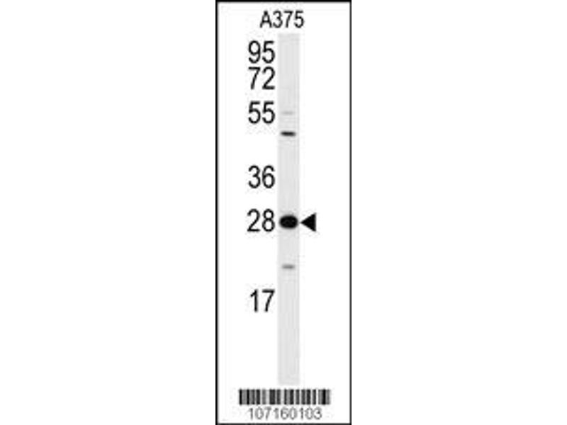 Western Blotting (WB) image for anti-tyrosine 3-Monooxygenase/tryptophan 5-Monooxygenase Activation Protein, zeta Polypeptide (YWHAZ) (AA 211-239), (Thr232) antibody (ABIN392783)