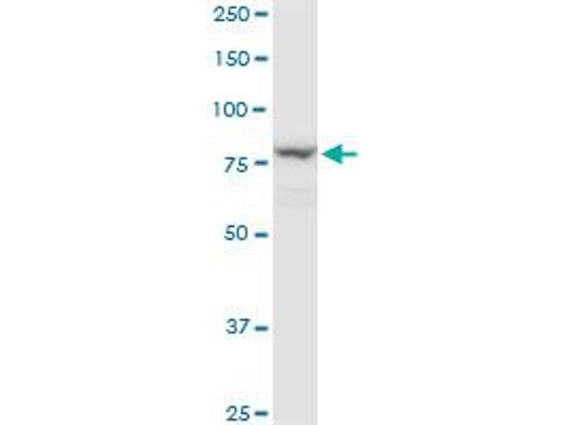 Western Blotting (WB) image for anti-Lysyl Oxidase-Like 4 (LOXL4) (AA 657-755), (partial) antibody (ABIN566544)