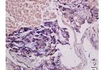 Immunohistochemistry (Paraffin-embedded Sections) (IHC (p)) image for anti-CSF1 antibody (Colony Stimulating Factor 1 (Macrophage)) (AA 235-265) (ABIN1387727)