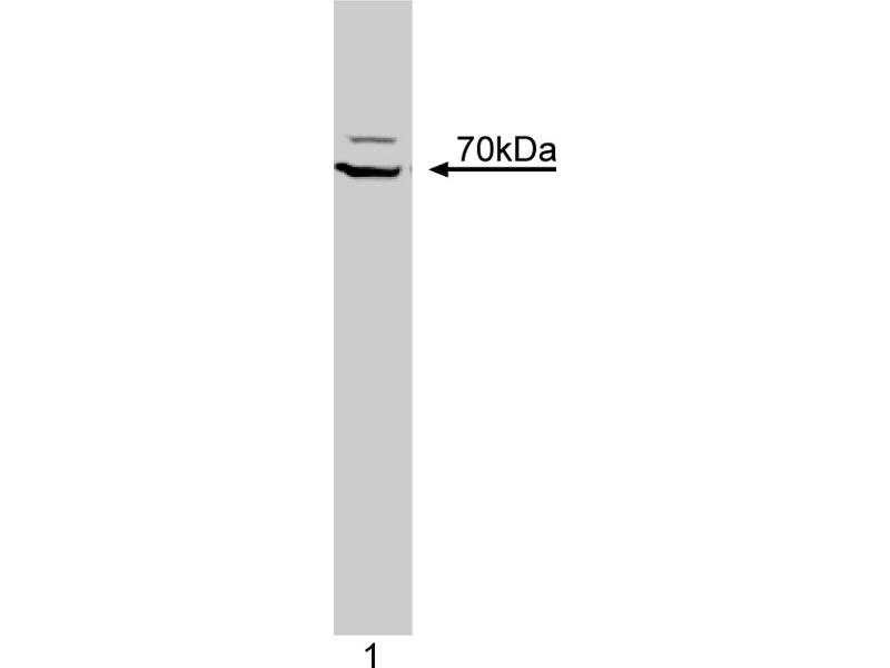 Western Blotting (WB) image for anti-ZAP70 antibody (zeta-Chain (TCR) Associated Protein Kinase 70kDa) (AA 468-619) (ABIN967849)