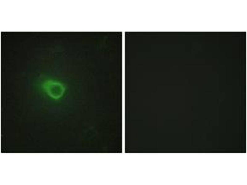 Immunofluorescence (IF) image for anti-Janus Kinase 1 (JAK1) (AA 91-140) antibody (ABIN1533664)