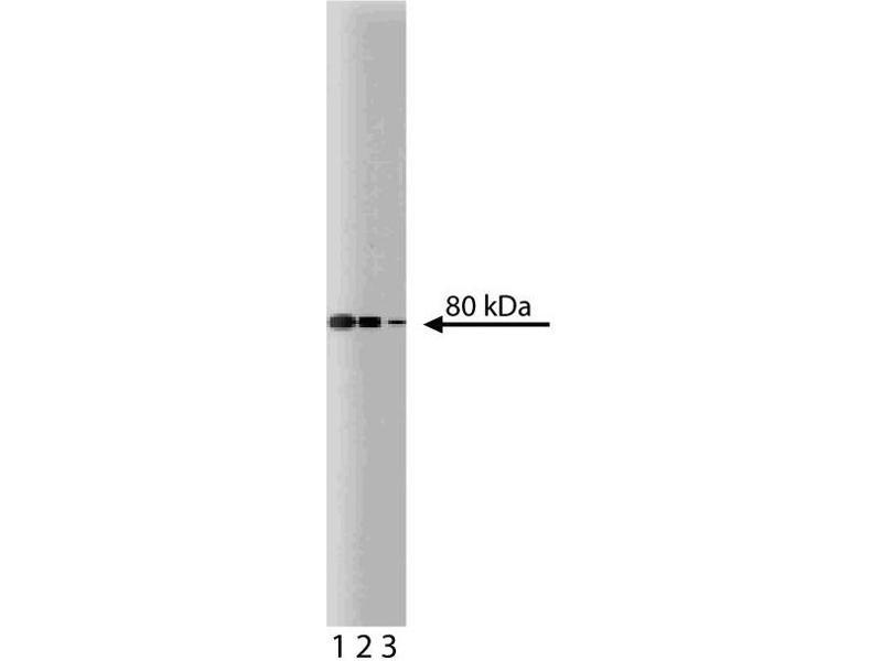Western Blotting (WB) image for anti-Ezrin (EZR) (AA 391-515) antibody (ABIN968058)