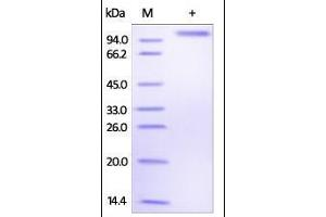 SDS-PAGE (SDS) image for delta-Like 4 (DLL4) (AA 27-524) (Active) protein (Fc Tag) (ABIN2180973)