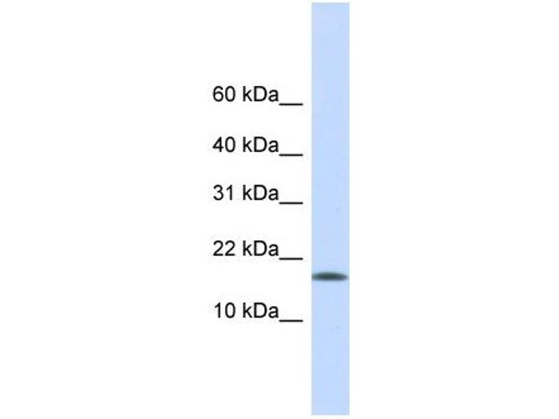 Western Blotting (WB) image for anti-CENPA antibody (Centromere Protein A) (Middle Region) (ABIN502692)