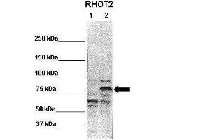 Image no. 1 for anti-Ras Homolog Gene Family, Member T2 (RHOT2) (N-Term) antibody (ABIN2789103)