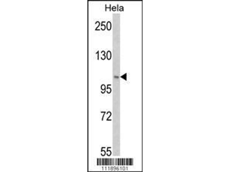 Western Blotting (WB) image for anti-PI3KC3 (AA 14-39), (Ser34) antibody (ABIN388594)