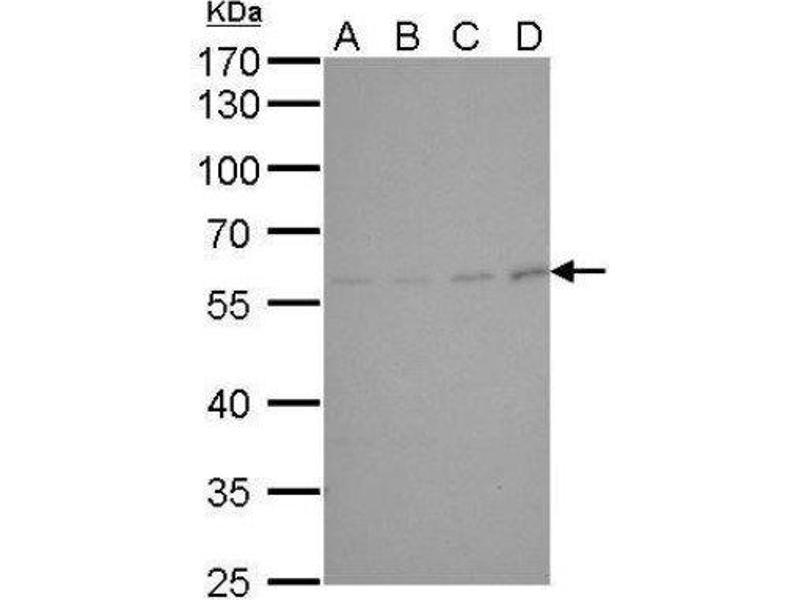 Western Blotting (WB) image for anti-Cyclin B1 Antikörper (CCNB1) (Center) (ABIN4265755)