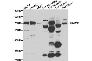 Image no. 3 for anti-Signal Transducing Adaptor Molecule (SH3 Domain and ITAM Motif) 2 (STAM2) antibody (ABIN2560164)