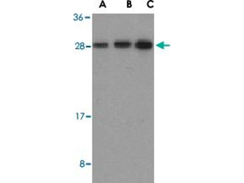 Image no. 2 for anti-BH3 Interacting Domain Death Agonist (BID) antibody (ABIN541444)