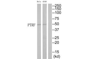 Image no. 1 for anti-Polymerase I and Transcript Release Factor (PTRF) (Internal Region) antibody (ABIN1852472)