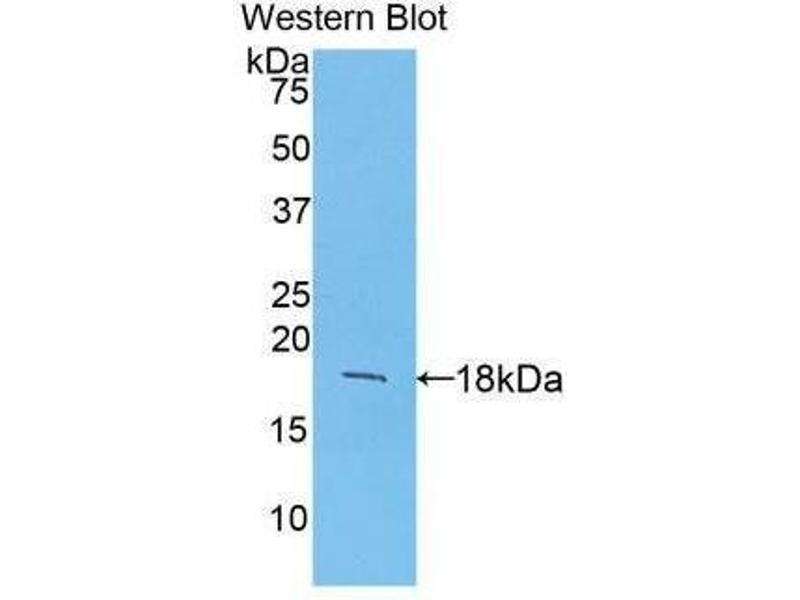 Western Blotting (WB) image for anti-Fibroblast Growth Factor 1 (Acidic) (FGF1) (AA 16-155) antibody (ABIN1858860)