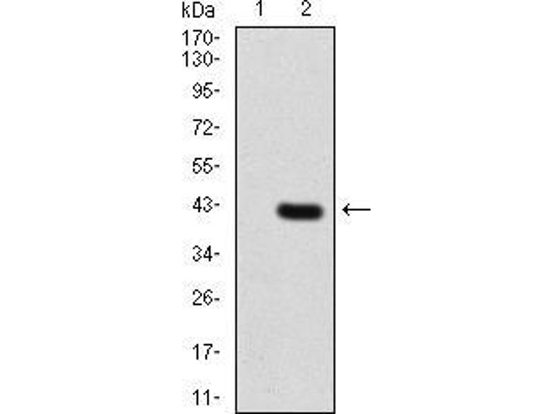 Western Blotting (WB) image for anti-3-phosphoinositide Dependent Protein Kinase-1 (PDPK1) (AA 457-556) antibody (ABIN5542259)