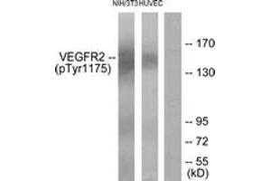 Western Blotting (WB) image for anti-VEGFR2 antibody (Kinase insert Domain Receptor (A Type III Receptor tyrosine Kinase)) (pTyr1175) (ABIN1531998)