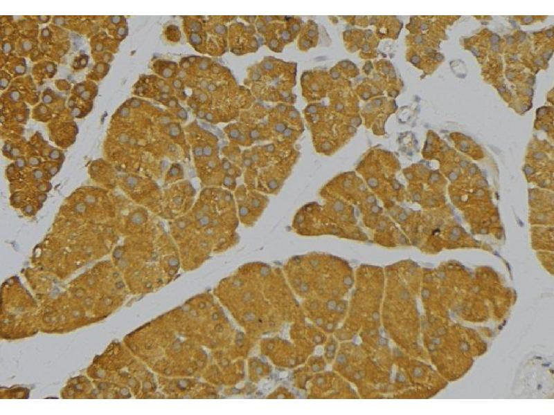 Immunohistochemistry (IHC) image for anti-Interleukin 9 (IL9) antibody (ABIN6257293)